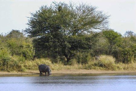 Hippo at Kruger National Park, Africa