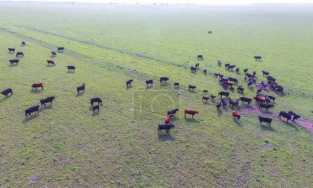 Aerial view of Cows feeding natural grass, Pampas,...