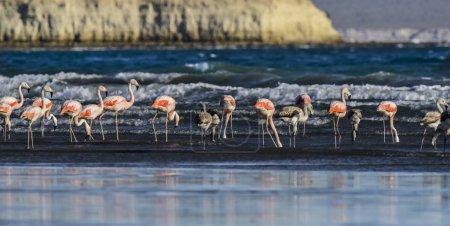Photo pour Flamants roses se nourrissant à marée basse, Valdes de la péninsule, Patagonie - image libre de droit
