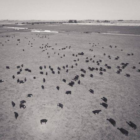 Photo pour Paysage aérien de l'élevage bovin - image libre de droit