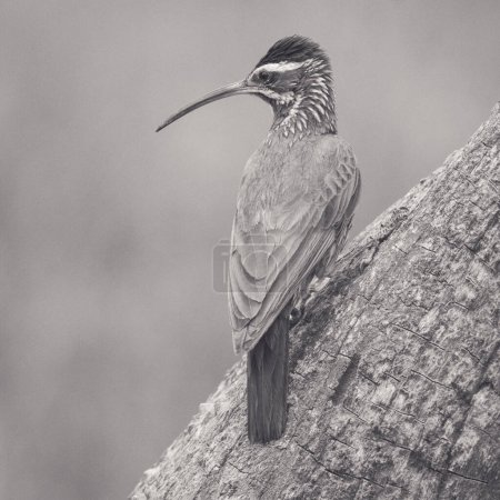 Photo for Scimitar billed Woodcreeper, Calden forest, La Pampa, Argentina. - Royalty Free Image