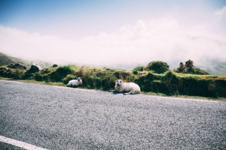 Sheep at the scenic road