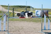 Agility competition with a company animal just above the bar making a jum