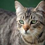 Close up of nonchalant grey tabby cat...
