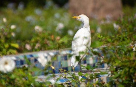 Photo pour L'aigrette du bétail (Bubulcus ibis) est une espèce cosmopolite de héron (famille des Ardeidae) que l'on trouve dans les régions tropicales, subtropicales et tempérées chaudes. Vue à Casablanca, Maroc - image libre de droit