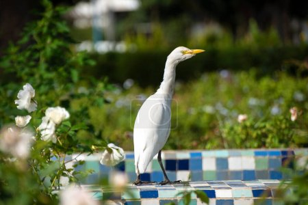 Photo for The cattle egret ( Bubulcus ibis ) is a cosmopolitan species of heron (family Ardeidae) found in the tropics, subtropics, and warm-temperate zones. View in Casablanca, Morocco - Royalty Free Image