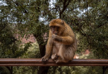 Photo pour Singe Macaque Barbare assis sur le sol dans les grandes forêts de montagne de l'Atlas avec des feuilles vertes sur le fond des cascades d'Ouzoud, Maroc, Afrique - image libre de droit