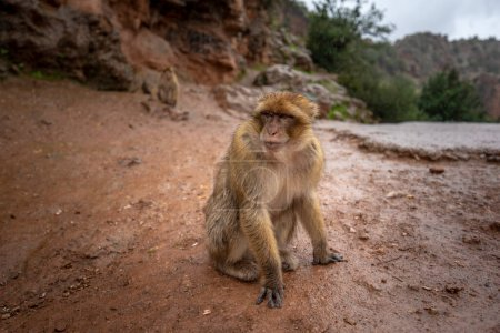 Photo for Barbary Macaque Monkey sitting on ground in the great Atlas mountain forests with green leaves on the background of Ouzoud waterfalls, Morocco, Africa - Royalty Free Image