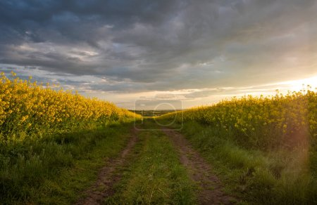 Photo for Rapeseed field at sunset, Blooming canola flowers panorama. Rape on the field in summer. Bright Yellow rapeseed oil - Royalty Free Image