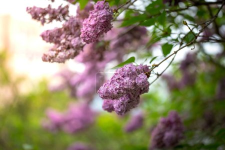 Photo for Branch of a blossoming lilac bush with delicate purple flowers and buds and fresh foliage. Beautiful sunset light spring floral background. Close-up macro view - Royalty Free Image