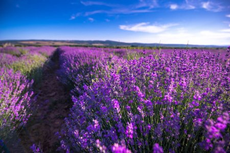 Photo pour Beautiful lavender field summer landscape near Burgas, Bulgaria. Looks like Provence France - image libre de droit