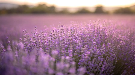 Photo pour Intense purple lavender field with blooming bushes grown for cosmetic purposes. Sunset time with sky filled with cumulus clouds and rays sunlight.  near Burgas, Bulgaria. - image libre de droit