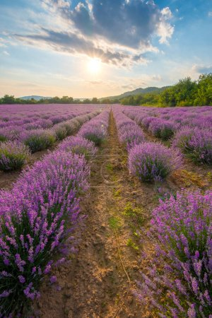 Photo pour Lavender field with blooming purple bushes grown for cosmetic purposes. Sunset time with sky filled with cumulus clouds and rays sunlight.  near Burgas, Bulgaria. - image libre de droit