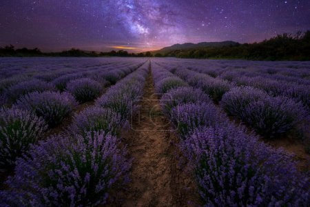 Photo pour Lavender field at night with blooming purple bushes grown for cosmetic purposes under stars sky. - image libre de droit