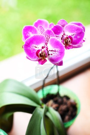 Photo pour Close-up view of beautiful orchid flowers in pot - image libre de droit