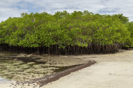 Photo for Mangrove Forest in Galapagos Islands, Ecuador - Royalty Free Image