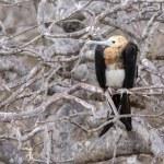 Magnificent Frigatebird (Fregata magnificens) in G...