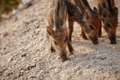 wild boars graze on nature
