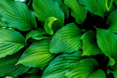 Photo pour Vue rapprochée de la texture des feuilles vertes - image libre de droit