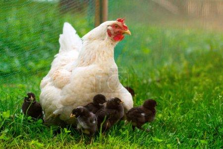 White chicken hen with chickens