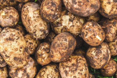 Background of ripe potatoes with mud