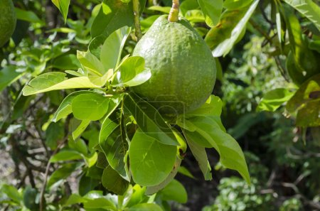 On sunny day from an avocado pear tree hangs a green skin mature fruit among tender, young, and green leaves. Also known as alligator pear, butter pear, avocat, goes by the botanical name Persea Americana or Persea Gratissima of the Lauraceae family.