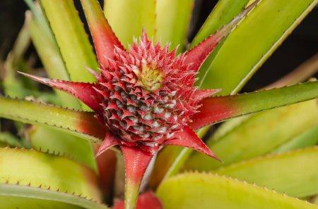Photo pour Vue rapprochée et détaillée de l'inflorescence d'ananas à partir d'une tige sous forme de fruits à ovaires multiples, avec formation en spirale de bractées roses et jaunes au sommet . - image libre de droit