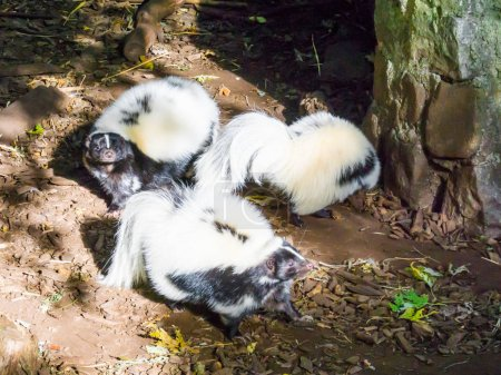 family of black and white common striped skunks standing together wild animals from canada