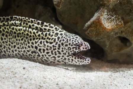 Black spotted leopard moray eel in closeup opening...