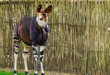 Closeup of a okapi, tropical endangered giraffe sp...