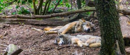 Photo pour Couple loup gris couché sur le sol ensemble dans la forêt, Espèce animale sauvage des forêts d'Eurasie - image libre de droit