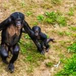 Mother bonobo walking together with her infant, Hu...