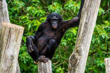 Funny bonobo standing in a seductive pose, pygmy c...