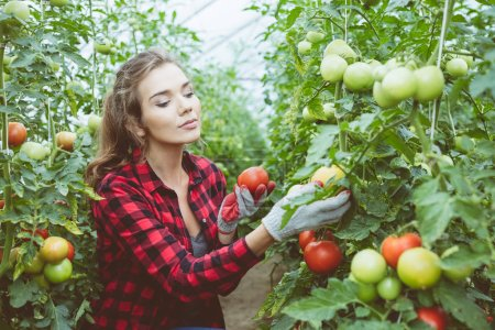 Photo for Young female farmer crouching in greenhouse and checking tomatoes. - Royalty Free Image