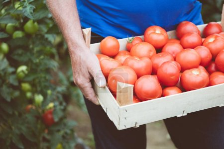 Outdoor shot of senior man holding box of organic tomatoes. Unrecognizable person, close up of vegetables.