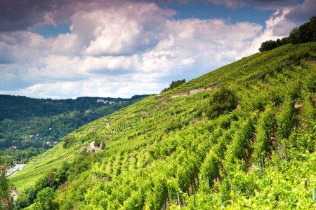 white grapes, autumn vineyard