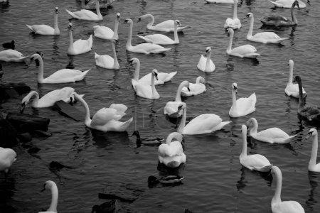 Photo pour Beaux cygnes blancs sur l'eau à Prague, République tchèque - image libre de droit