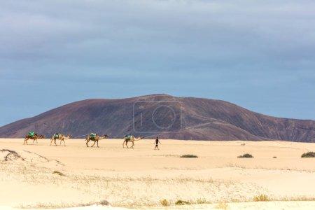 Photo for Camels caravan in Fuerteventura, Corralejo - Royalty Free Image