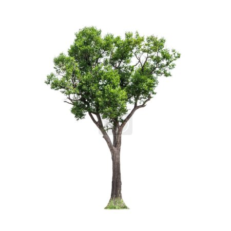 Photo for Isolated of big almond tree or Thai 's name is grabok on white background with clipping path. Cutout tree for use as a raw material for editing work. - Royalty Free Image