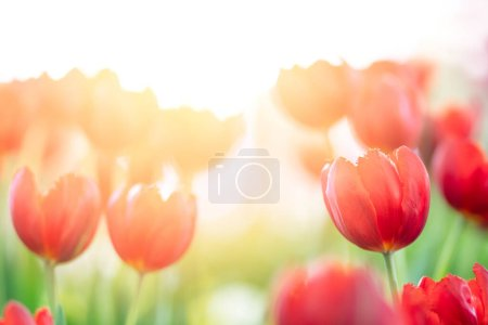 red tulips with sun light in the morning, Colorful tulips meadow nature in spring.
