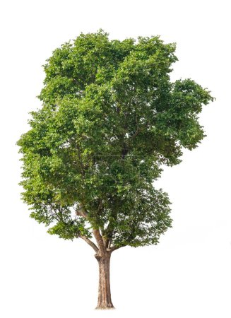 Photo for Cutout tree for use as a raw material for editing work. isolated beautiful fresh green deciduous almond tree on white background with clipping path. - Royalty Free Image