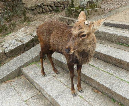 Photo pour Cerf avec coupure de bois debout dans les escaliers à Nara, Japon - image libre de droit