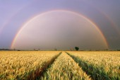Wheat field - Agriculture with rainbow