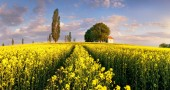 Landscape on Yellow rape fields at sunset with chapel