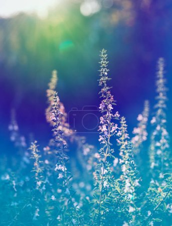 Photo for Thyme outdoor in garden. violet color grading - Royalty Free Image