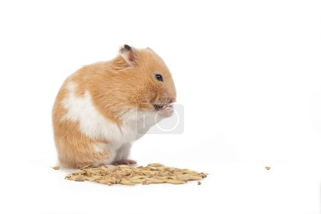 Thick red hamster eating grain on white background...
