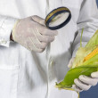 Scientist examining quality of harvested corn seed...