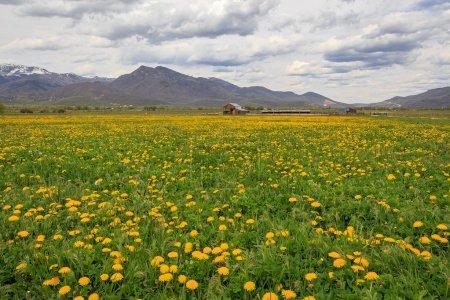 Summer wildflowers in  Mountains, Utah, USA.