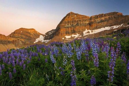 Photo pour Belles fleurs sauvages, Timpanogos, Utah, Usa - image libre de droit