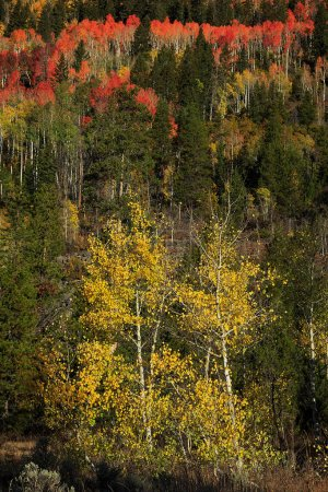 Photo for Bright aspens in autumn forest, USA - Royalty Free Image
